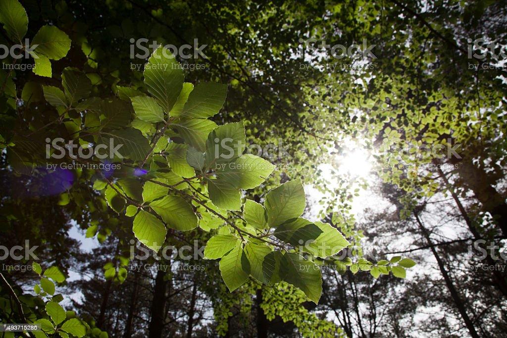 Faggio filiale dal di sotto guardando in canopy foto stock royalty-free