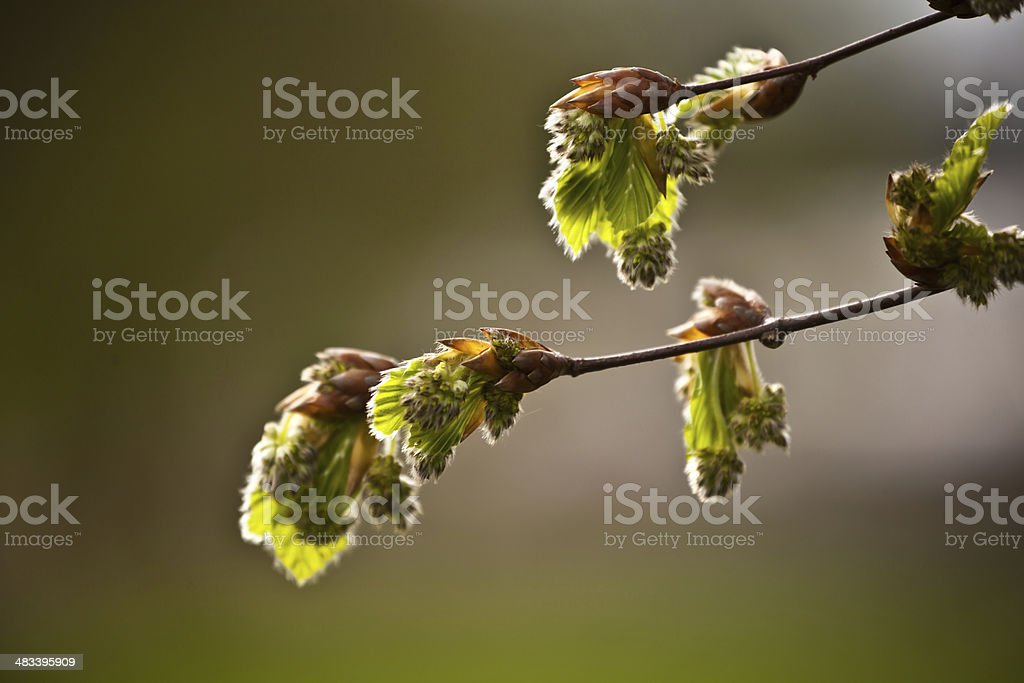 beech tree buds stock photo