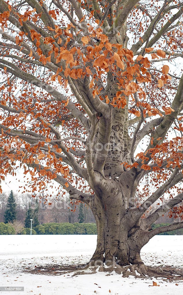 Beech tree close-up with orange leafs in winter. royalty-free stock photo