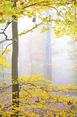 Beech tree forest in autumn foliage with fog