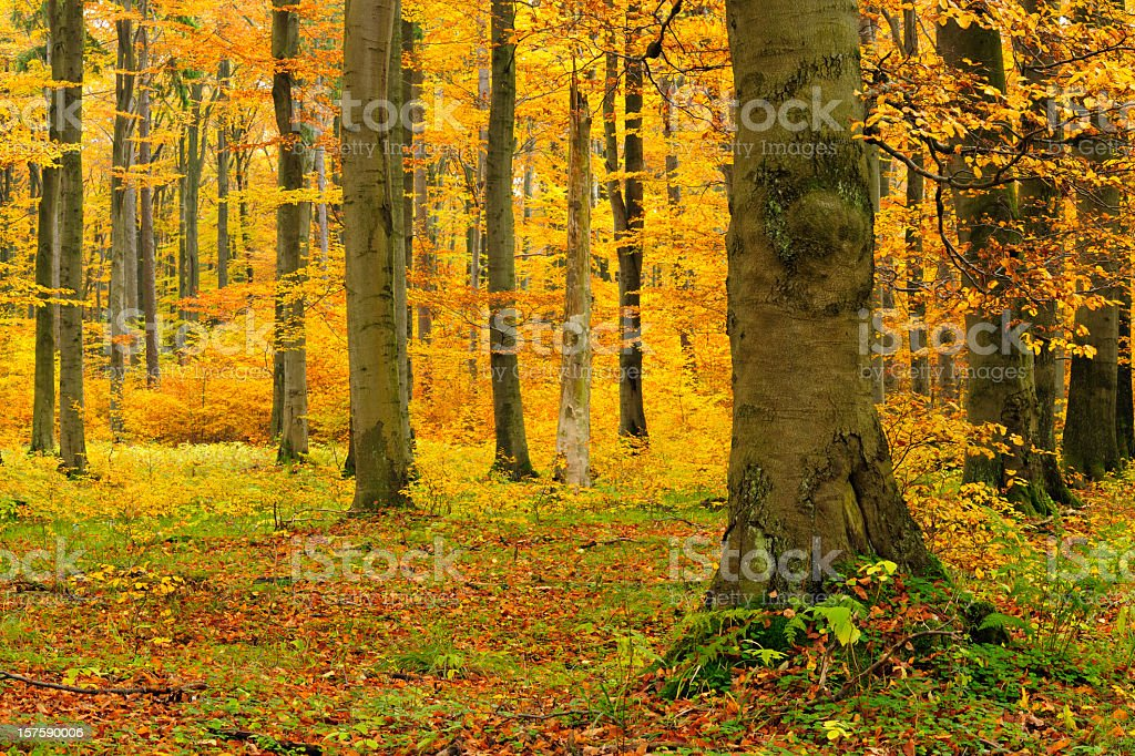 Beech Tree Forest in Autumn royalty-free stock photo