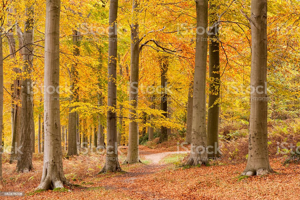 Beech Tree Forest in Autumn stock photo