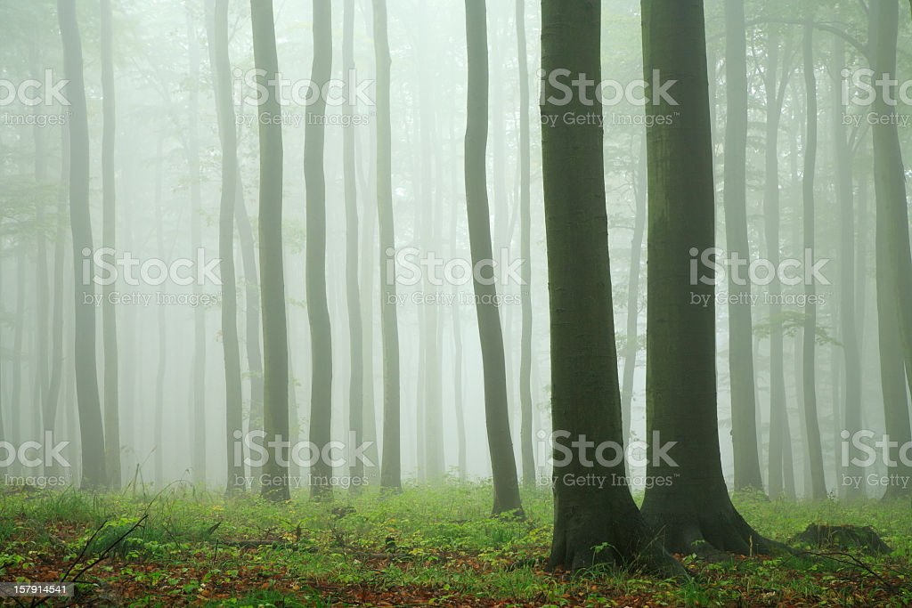Beech Tree Forest in Rain and Mist stock photo