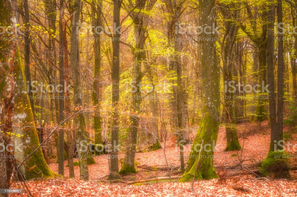 Beech tree forest in spring royalty-free stock photo