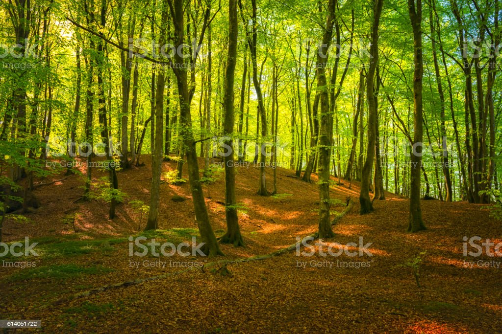 Beech tree forest in springtime stock photo