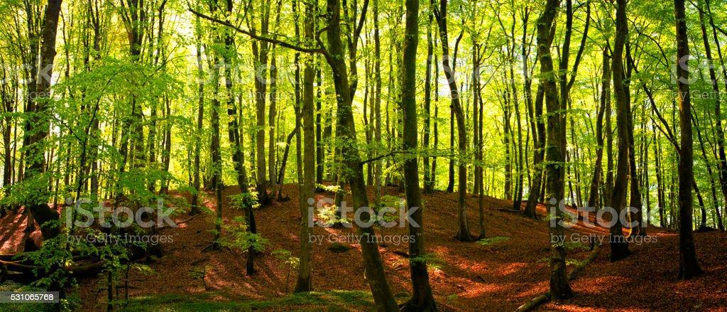 Beech tree forest panorama stock photo