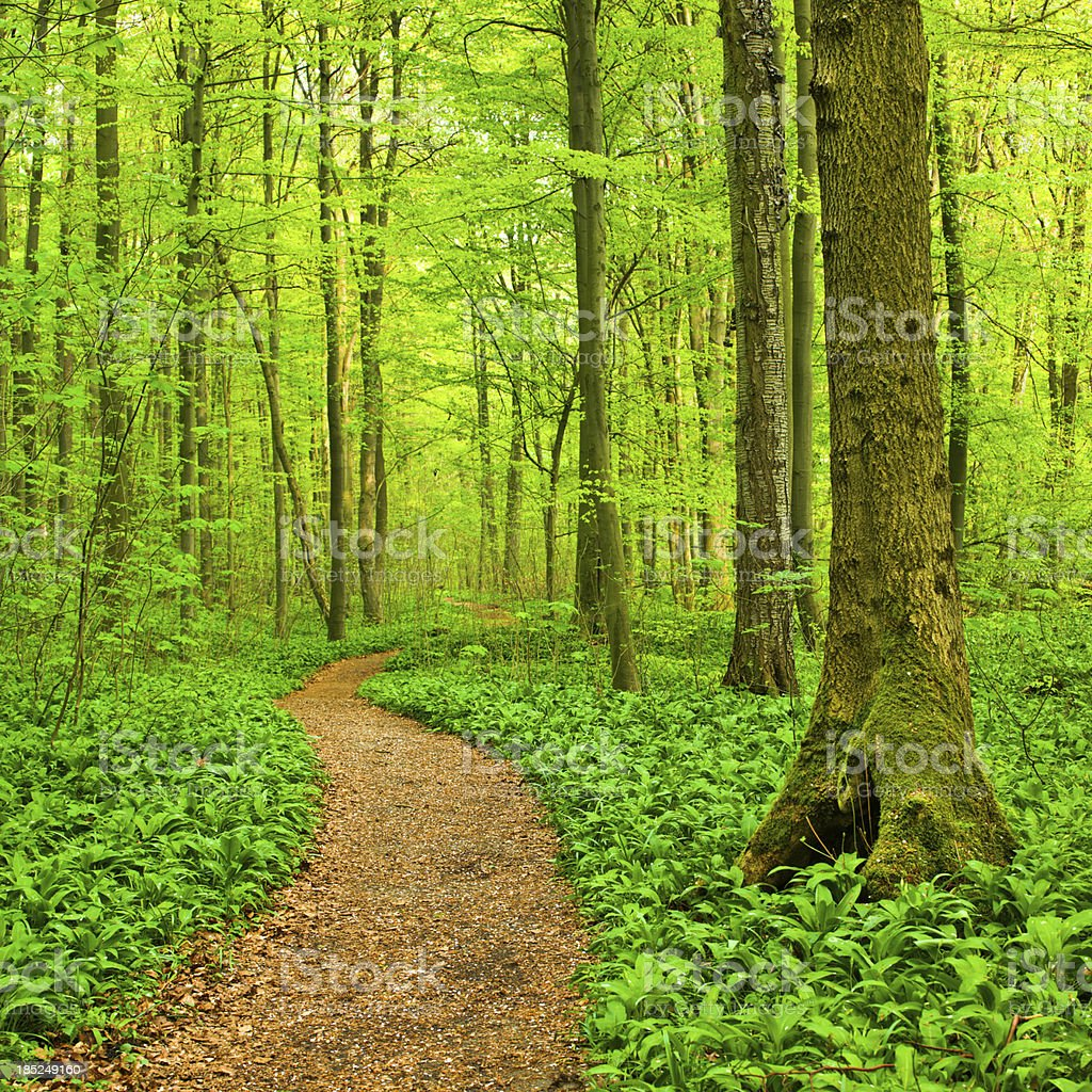 Beech Tree Forest royalty-free stock photo