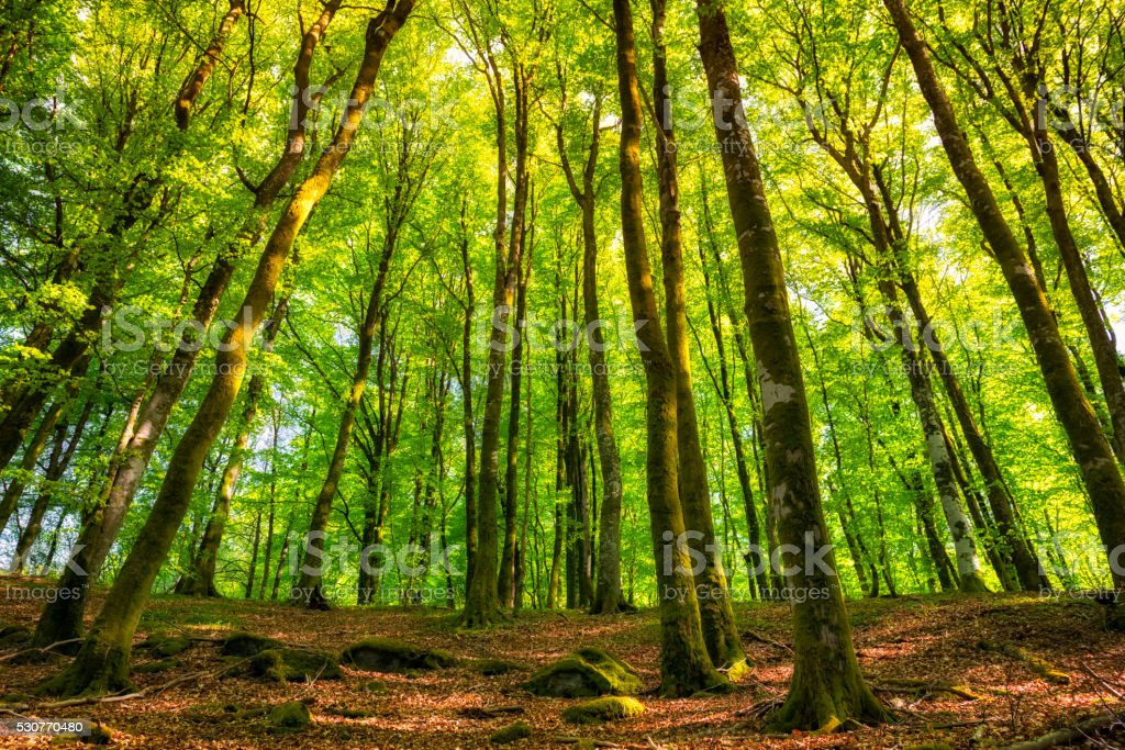 Beech tree forest stock photo