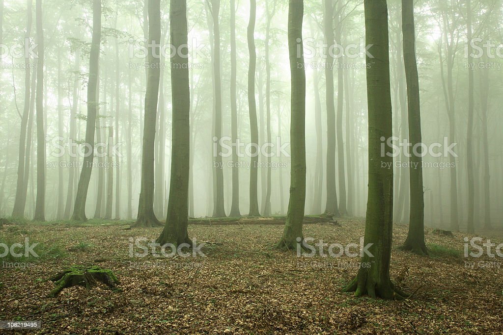 Beech Tree Forest with Fog royalty-free stock photo