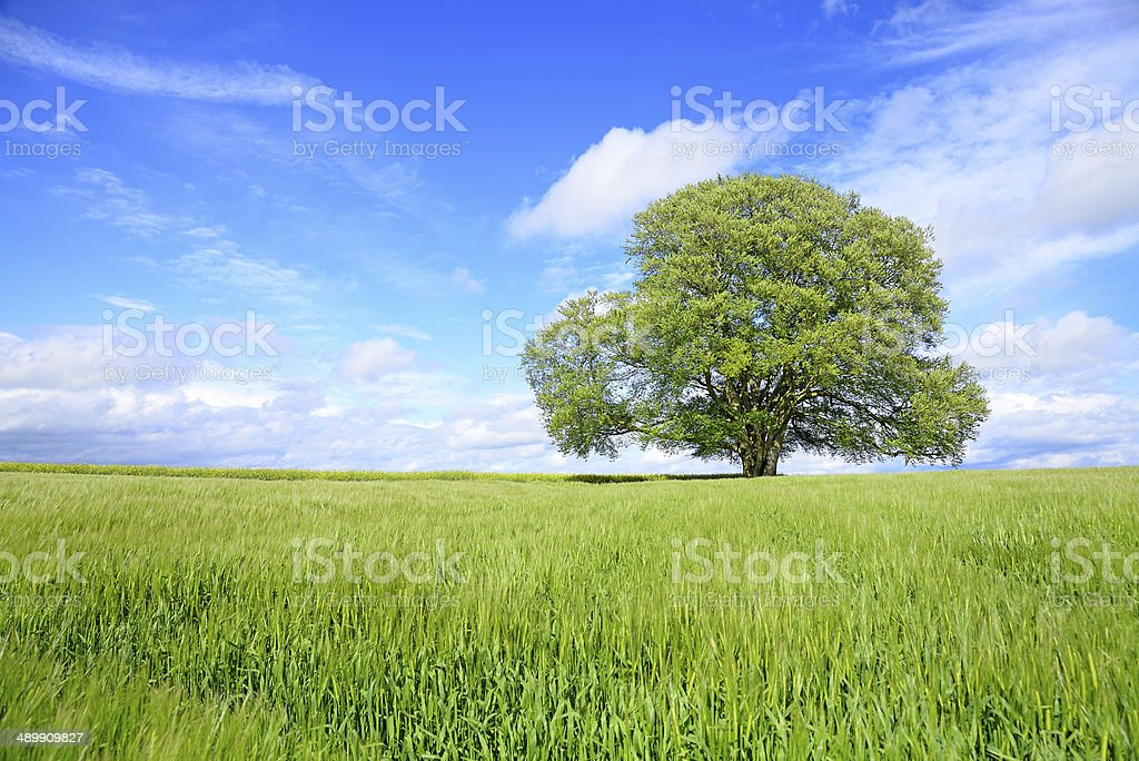 Beech Tree in lush foliage behind barley field in spring stock photo