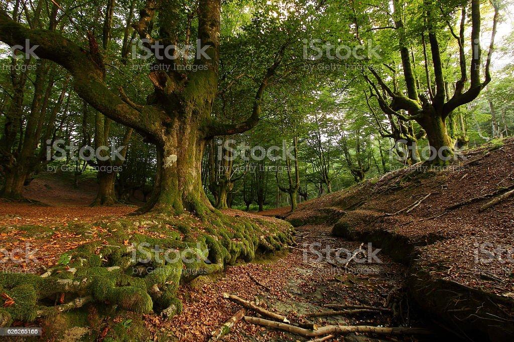 Beech tree in summer stock photo