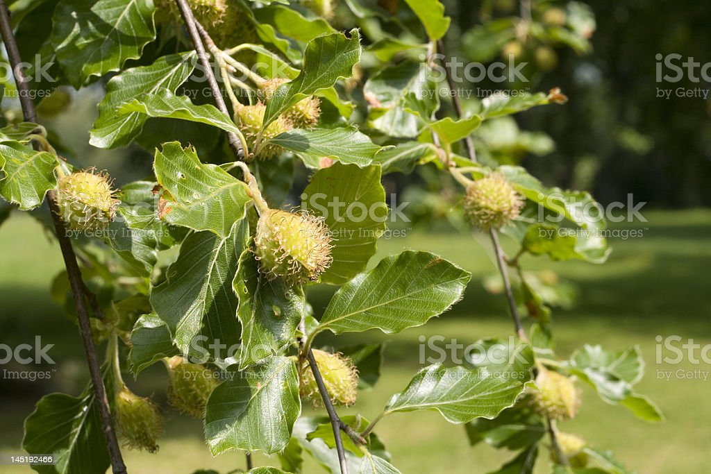 Beech Tree, leaves and fruit royalty-free stock photo