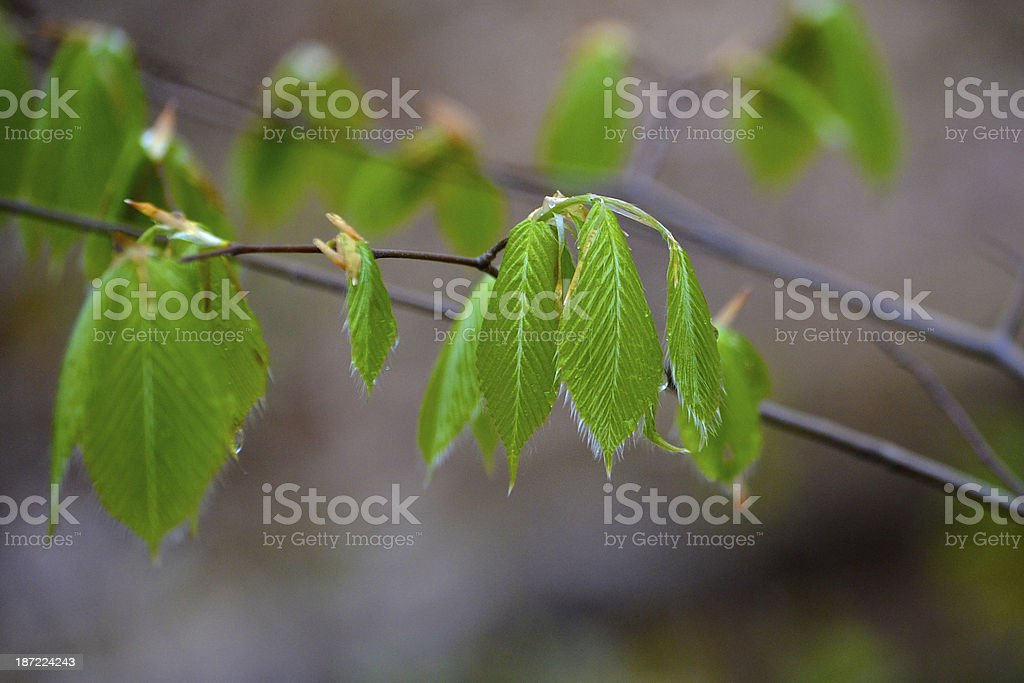 Beech Tree Leaves in Spring stock photo