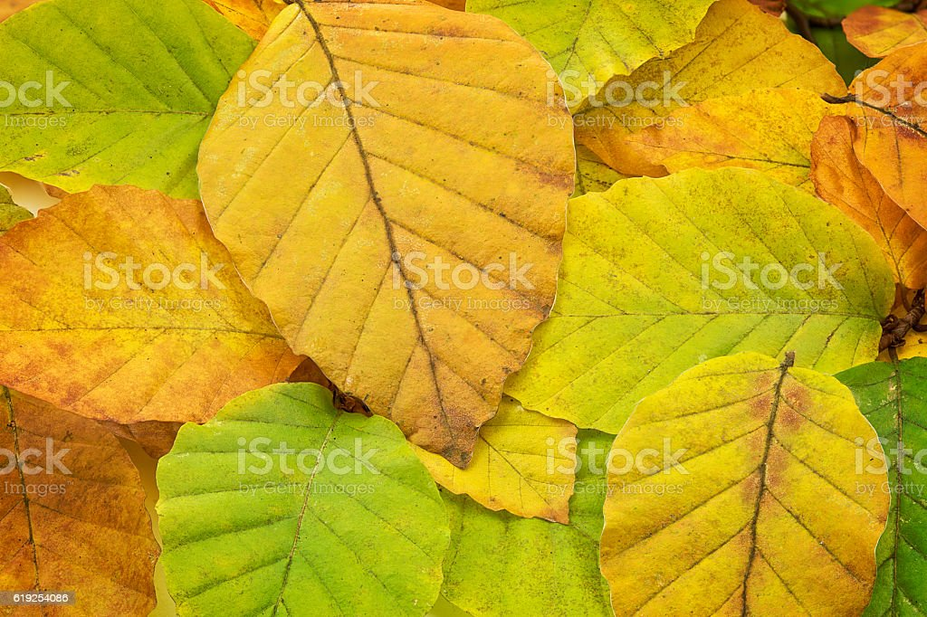 Beech tree leaves with autumn colors stock photo