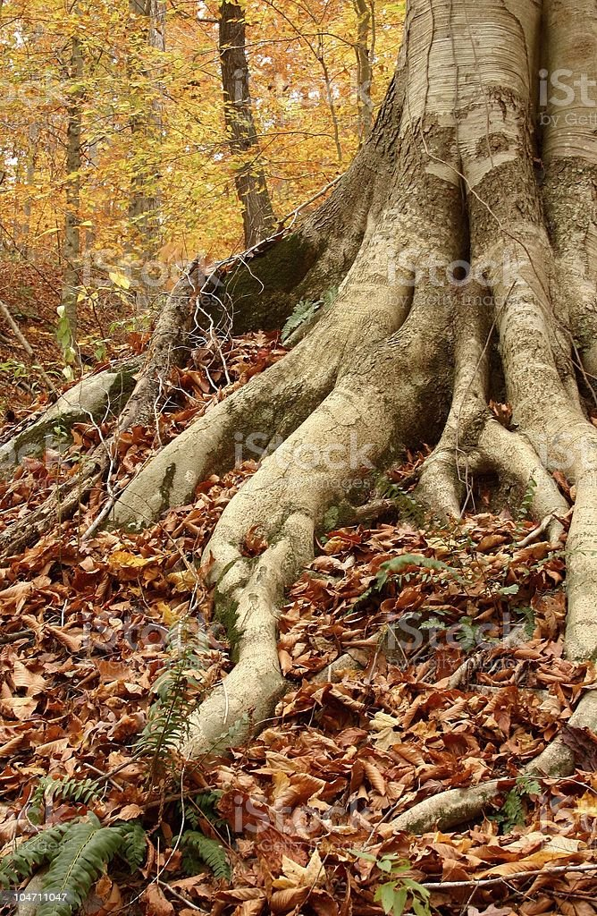 Beech Tree Roots in Autumn royalty-free stock photo