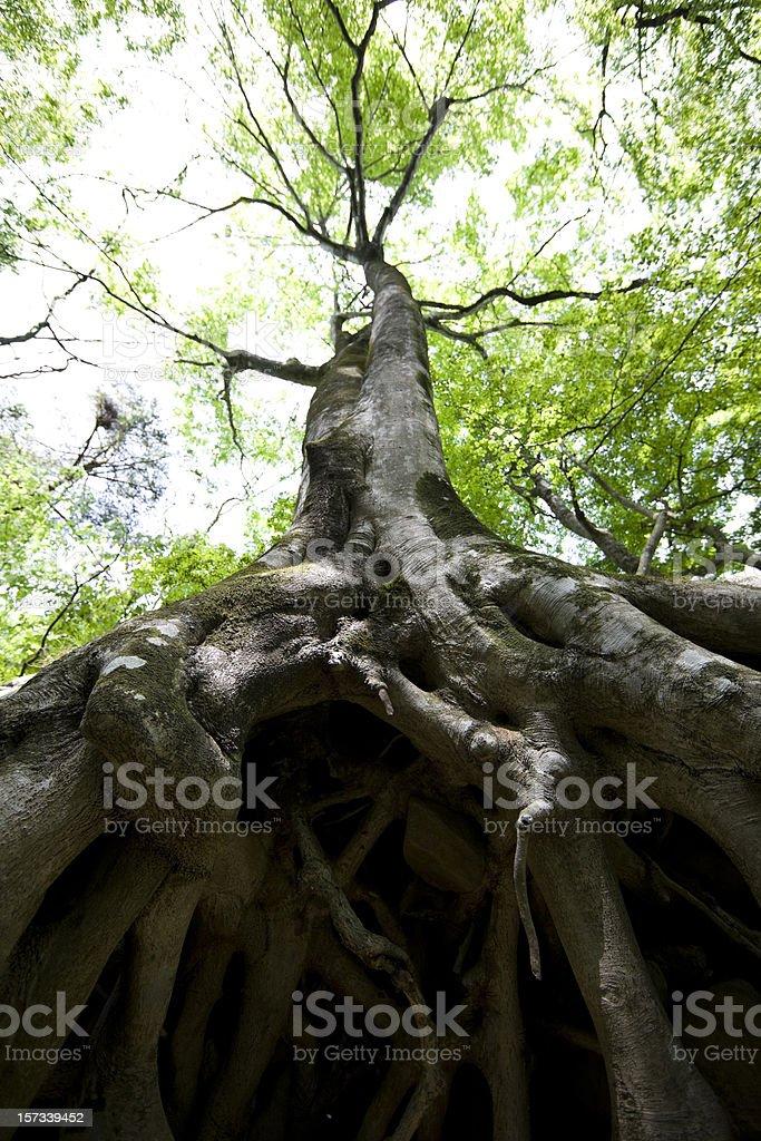 Beech tree roots royalty-free stock photo