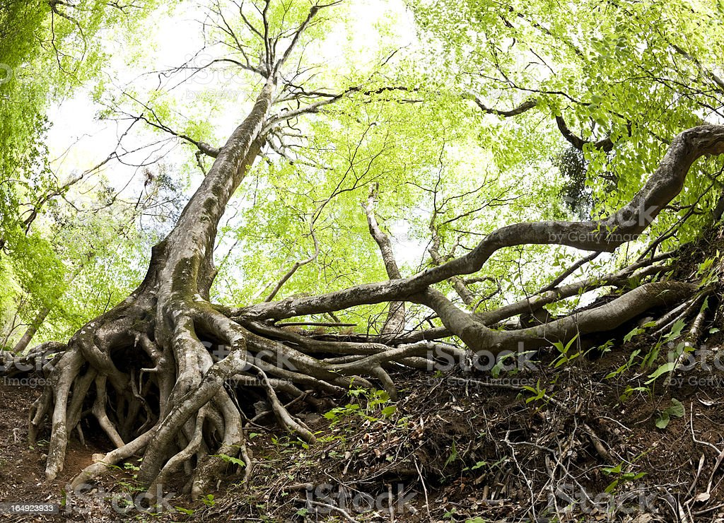 Beech Tree Roots stock photo