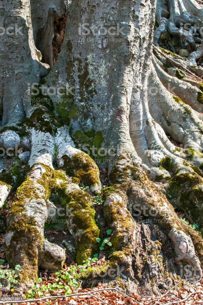Beech tree stem with huge roots stock photo