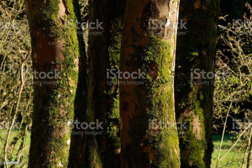 Beech tree trunks stock photo
