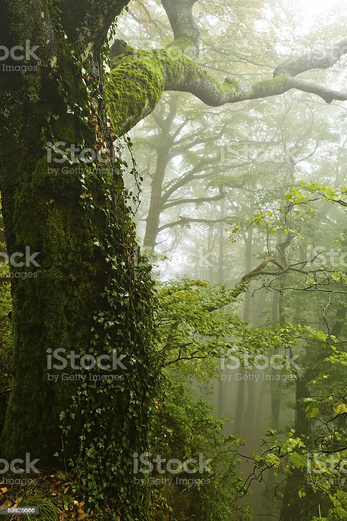 Beech tree with ivy in the mist royalty-free stock photo