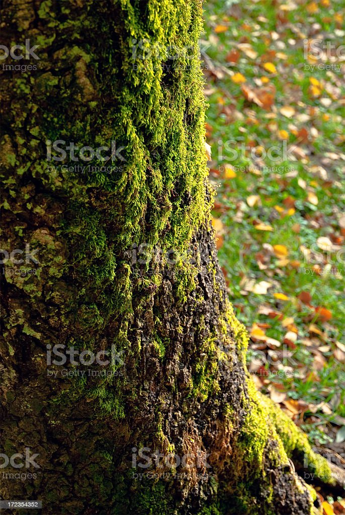 Beech tree with moss royalty-free stock photo