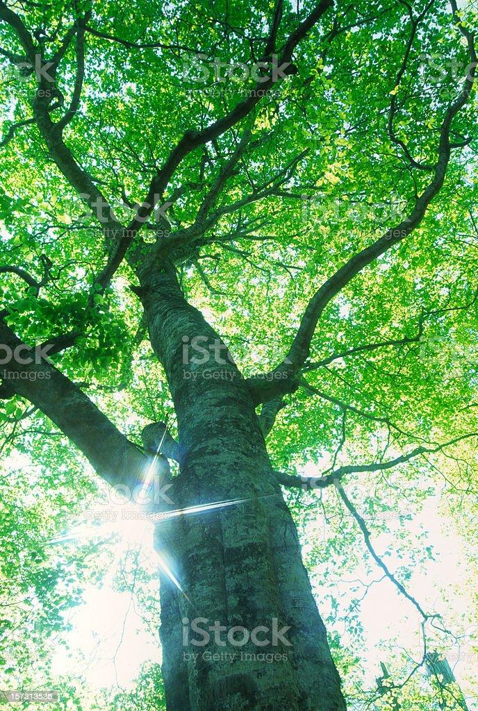 Beech tree with sunlight royalty-free stock photo