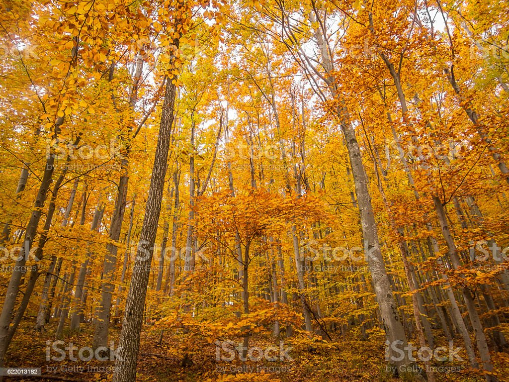Beech trees in autumn stock photo