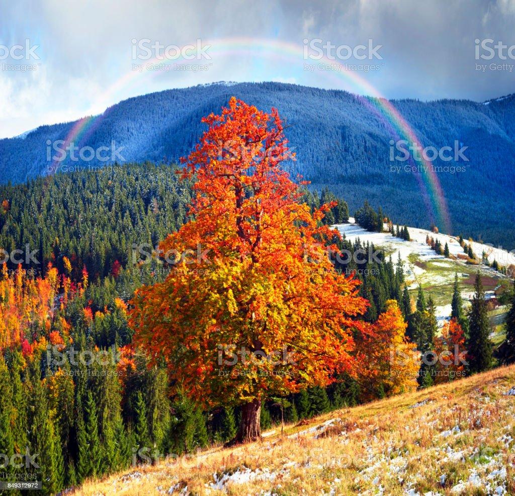 Beech trees in autumn stock photo