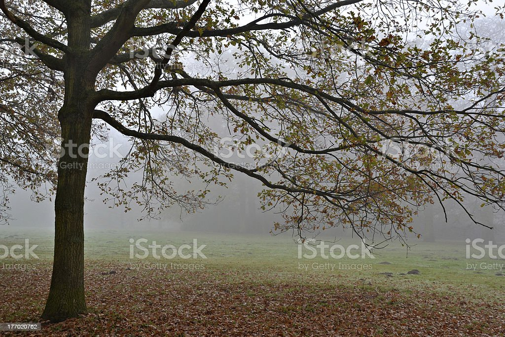 ブナの木の霧。 ロイヤリティフリーストックフォト