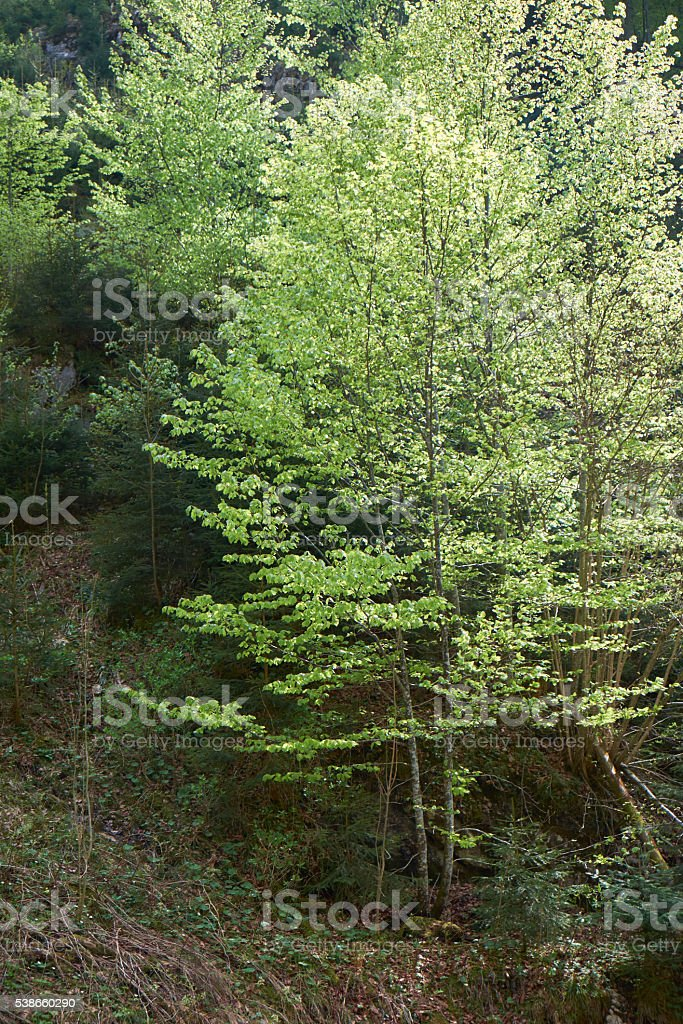 beech trees stock photo