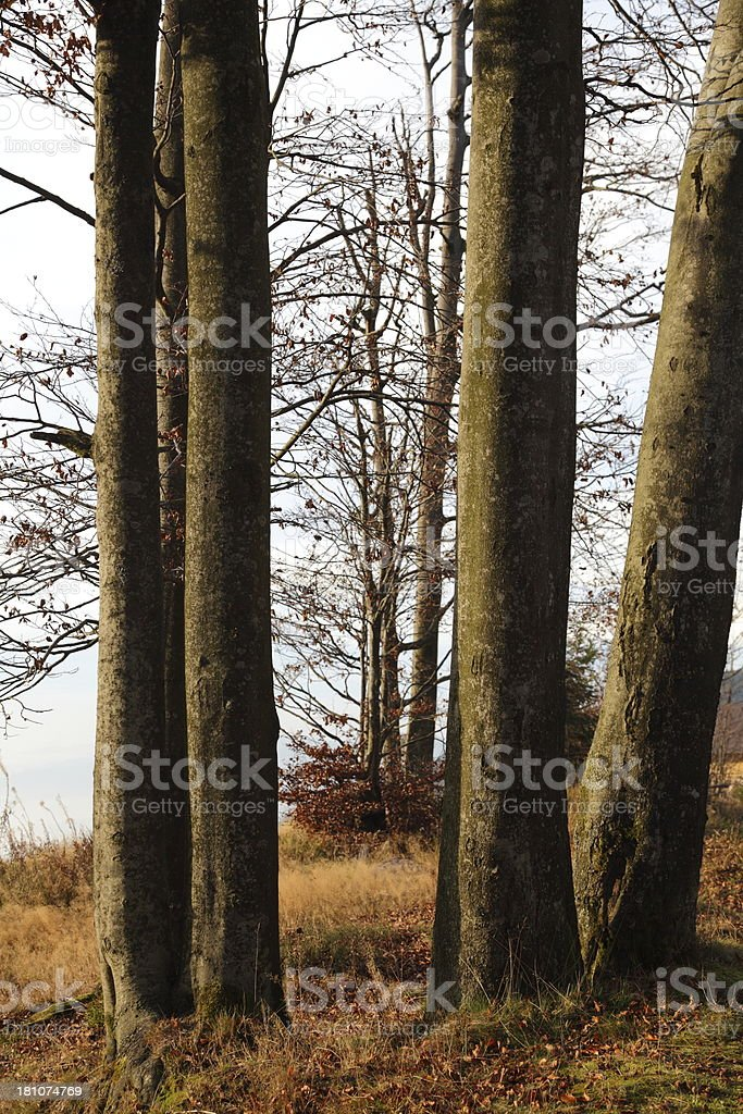 beech trunk in fall royalty-free stock photo