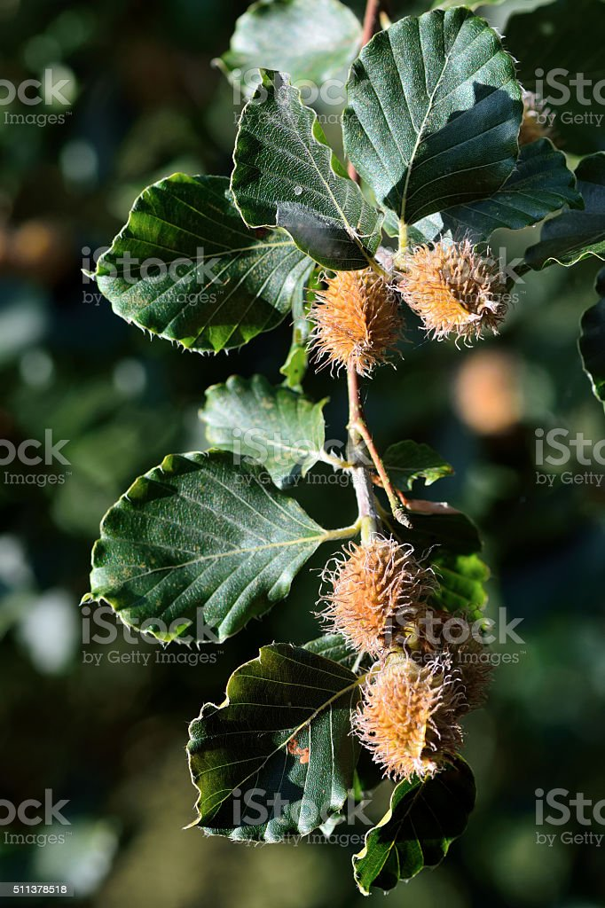 Beech (Fagus sylvatica) with nuts on branch stock photo