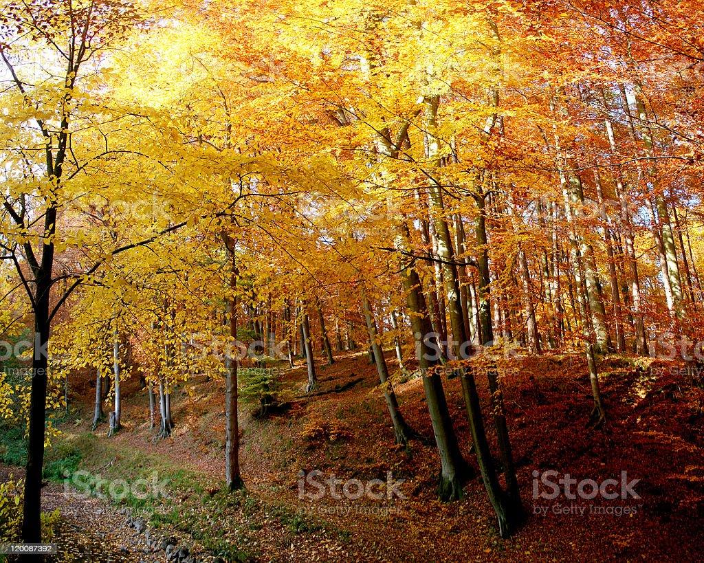 Beech wood in autumn stock photo