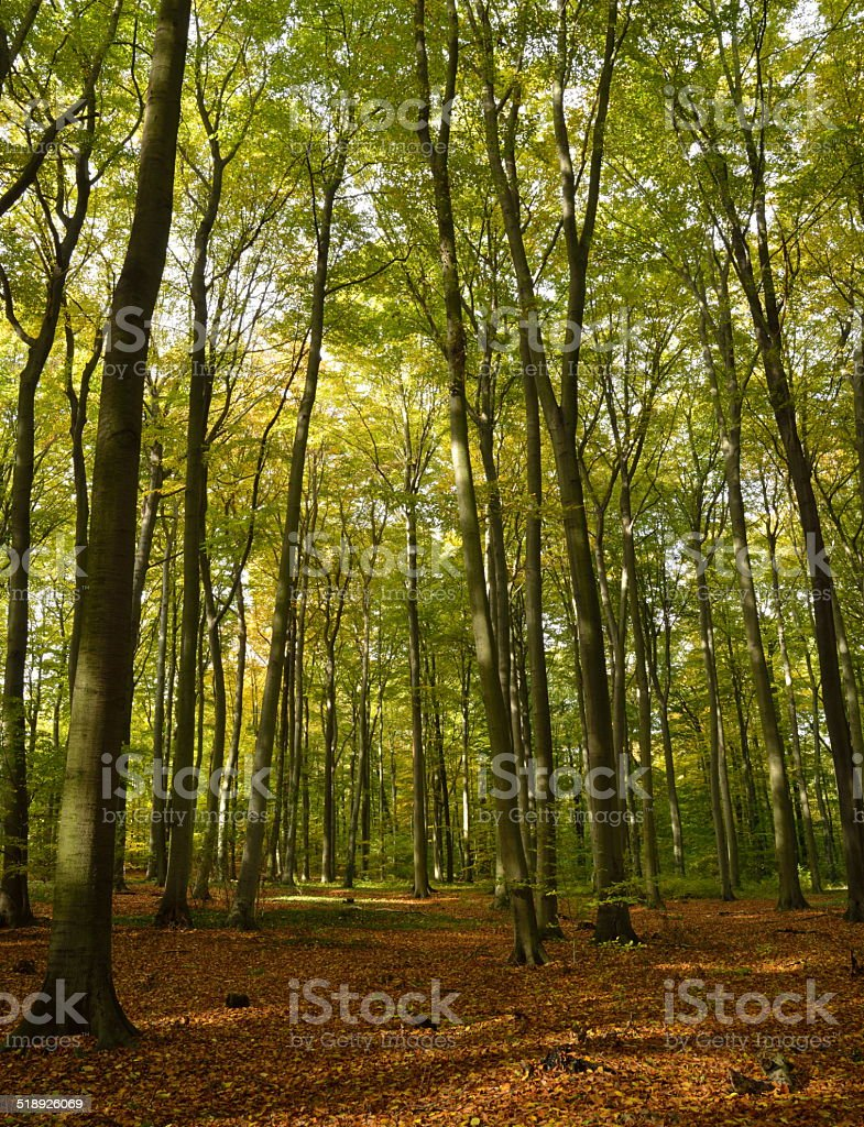 Beech wood stock photo