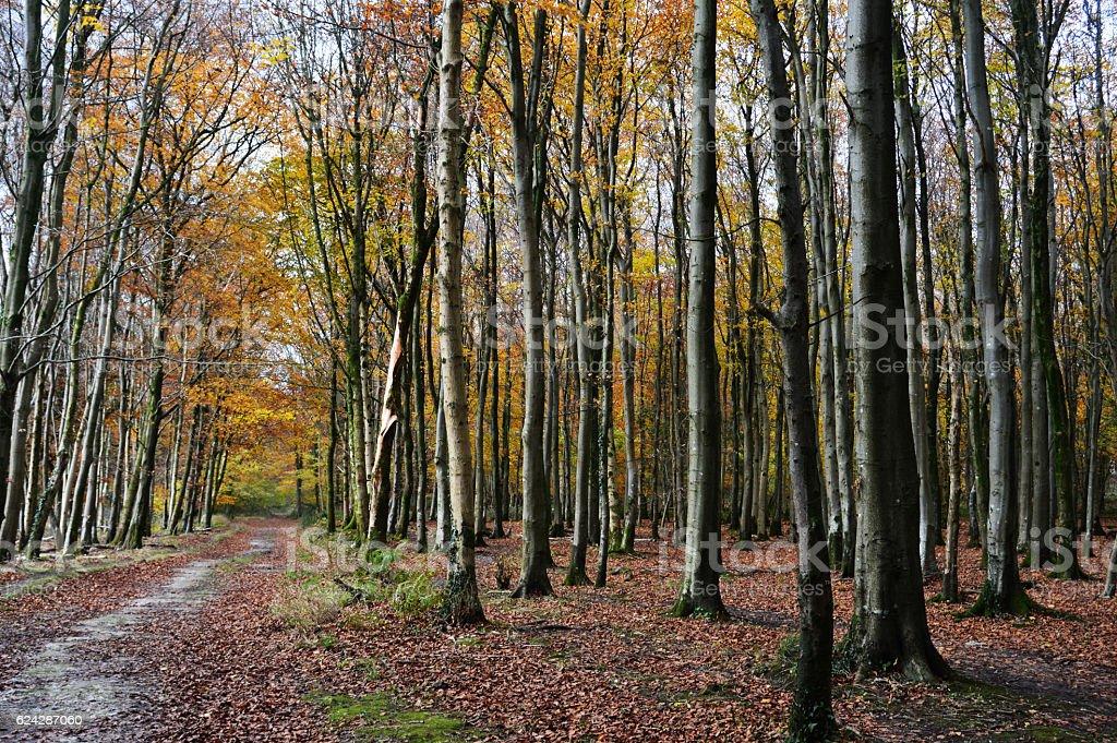 Beech woodland in autumn stock photo