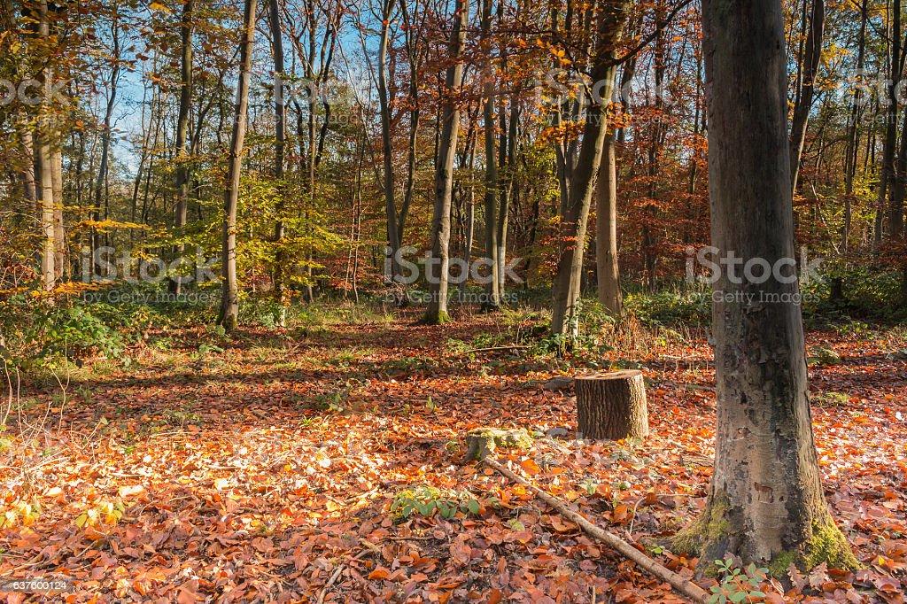 Beech Woodland stock photo