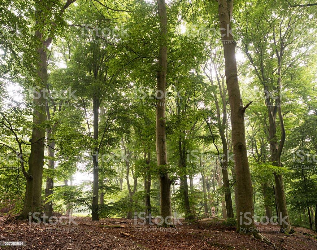 beechwood forest near Kleve stock photo