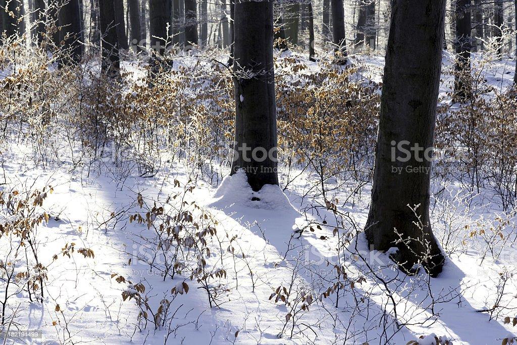 Beechwood in winter stock photo