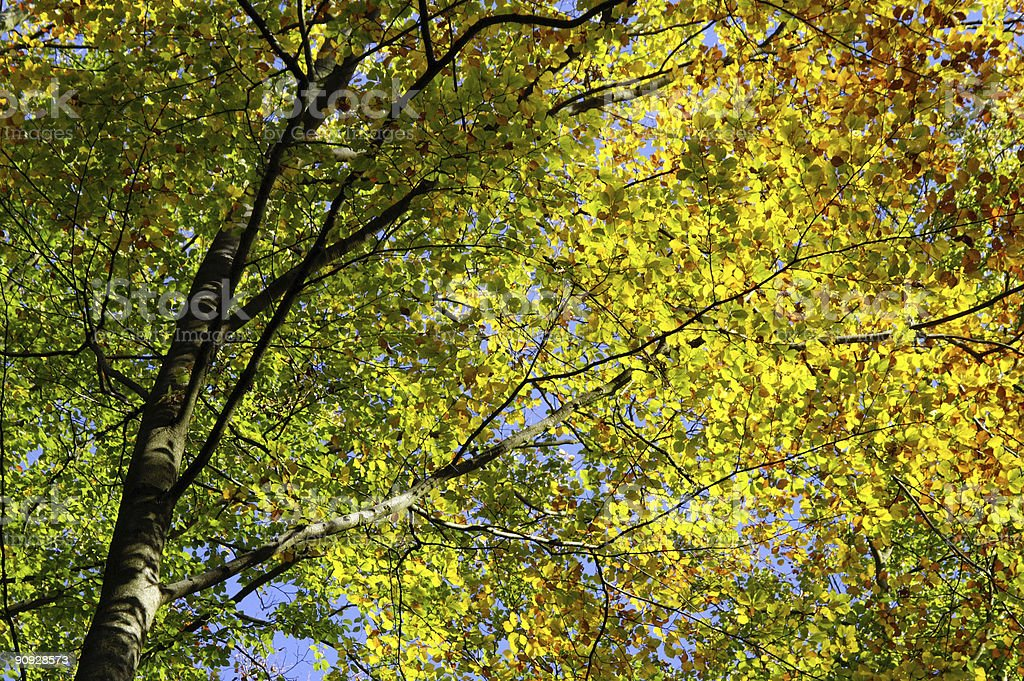 beechwood leafes in golden fall colors stock photo