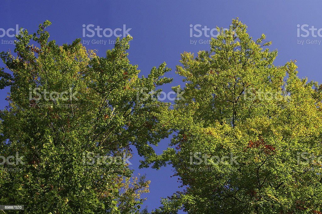 Beechwood trees in front off a blue sky royalty-free stock photo
