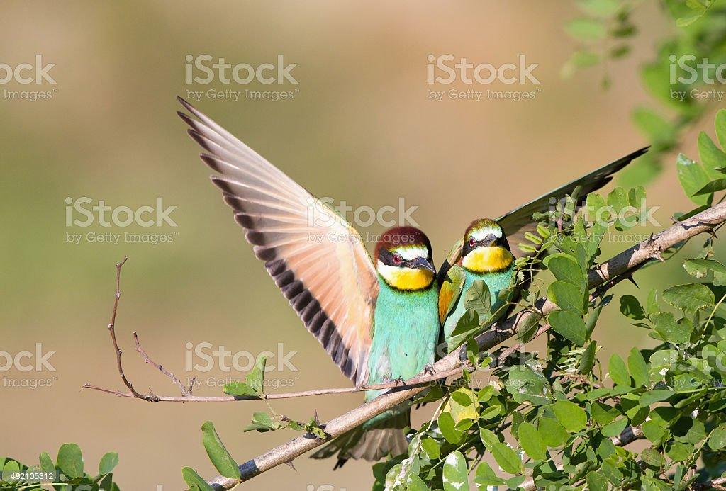 Bee-eater couple stock photo