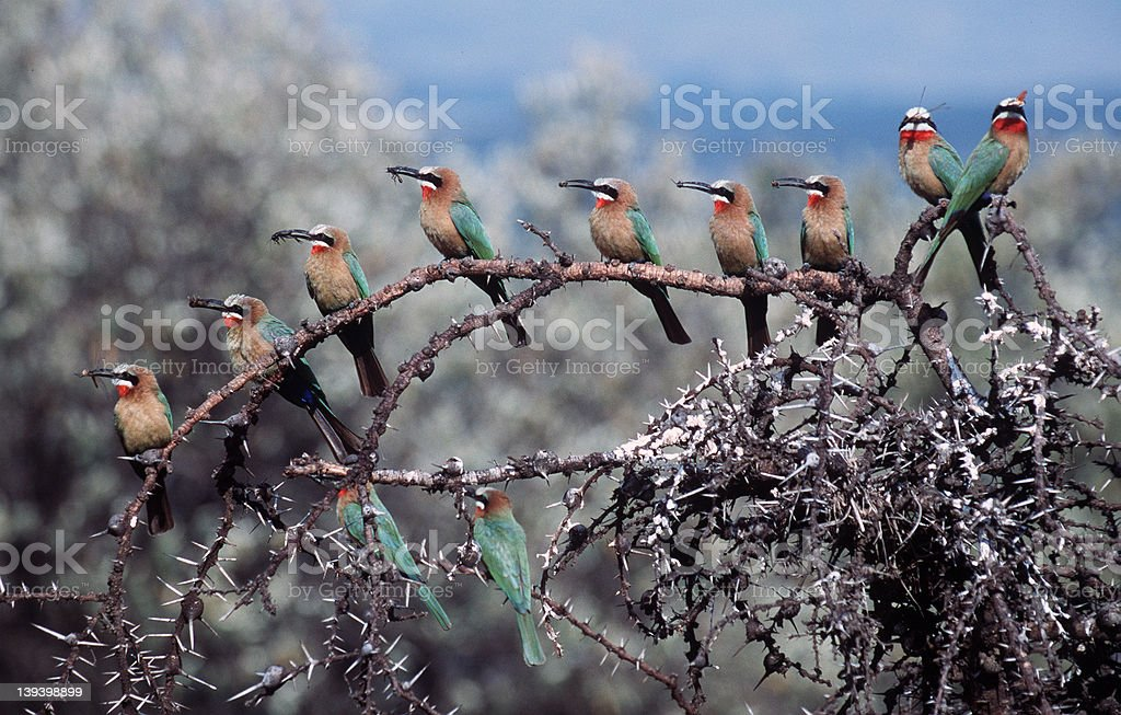 Bee-eater royalty-free stock photo