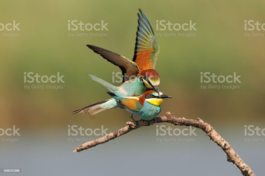 Bee-eaters in mating stock photo