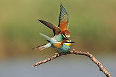 Bee-eaters in mating
