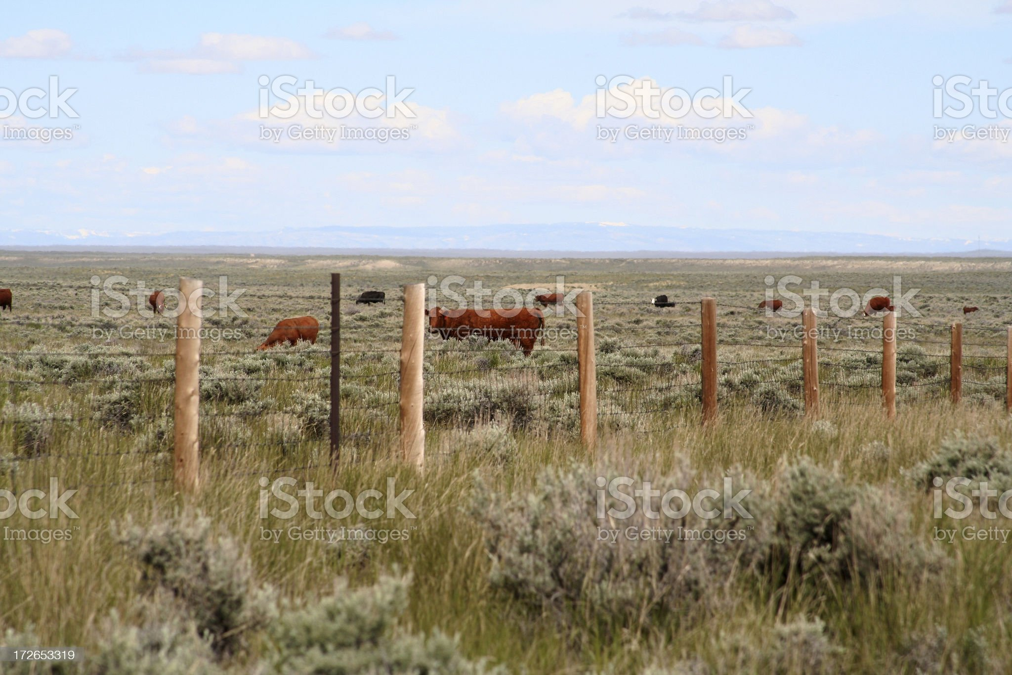 Beef Cattle Grazing royalty-free stock photo