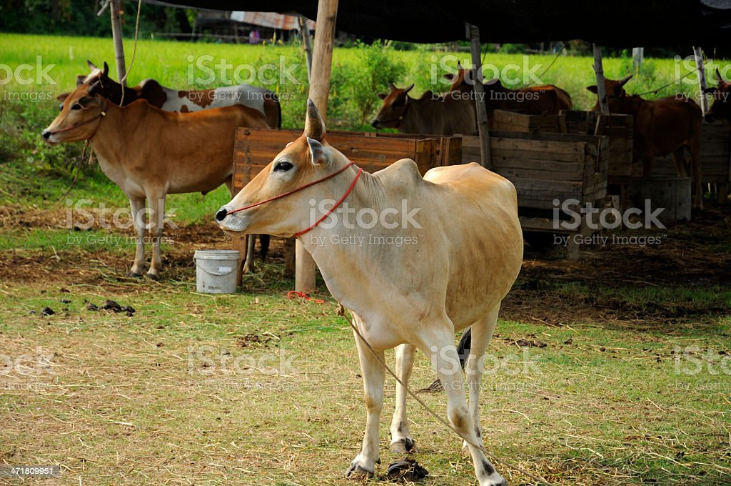 beef cattle royalty-free stock photo