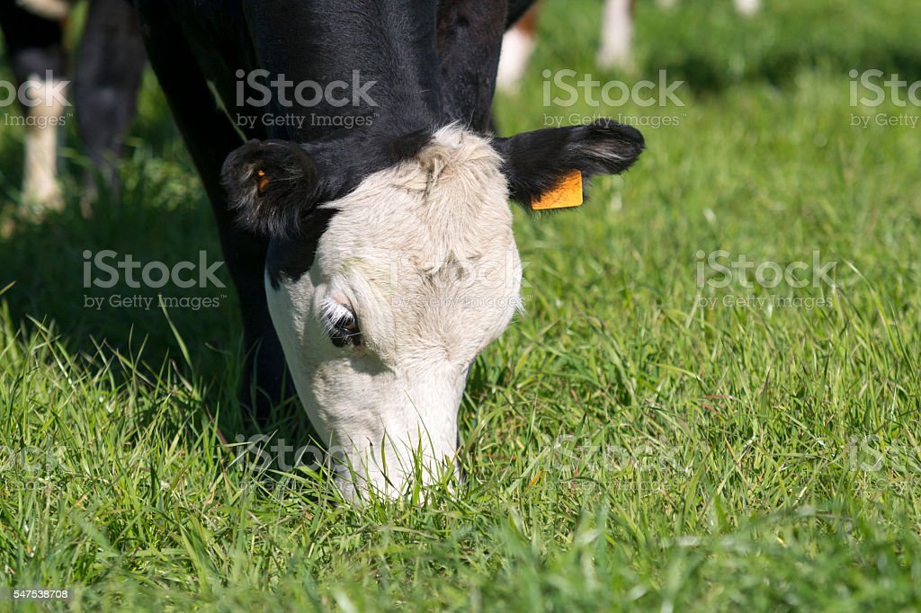 Beef cattle stock photo