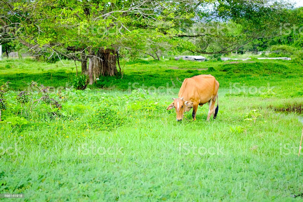 beef cow in grassland,native cow in thailand stock photo