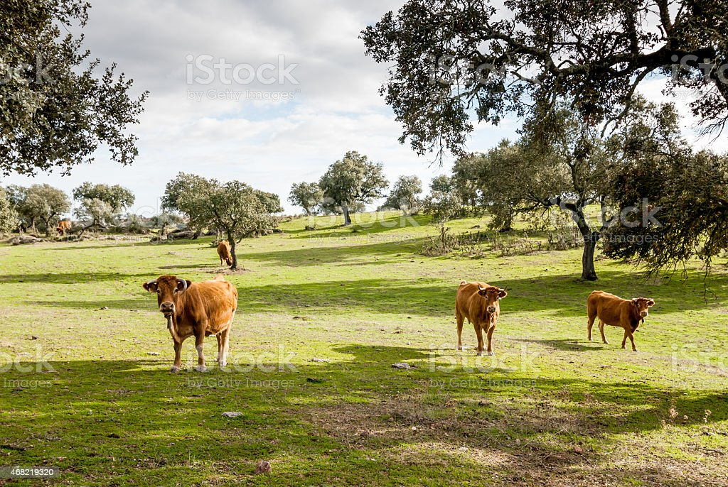 Beef cows, Retinto race, grazing in Dehesa, Spain stock photo