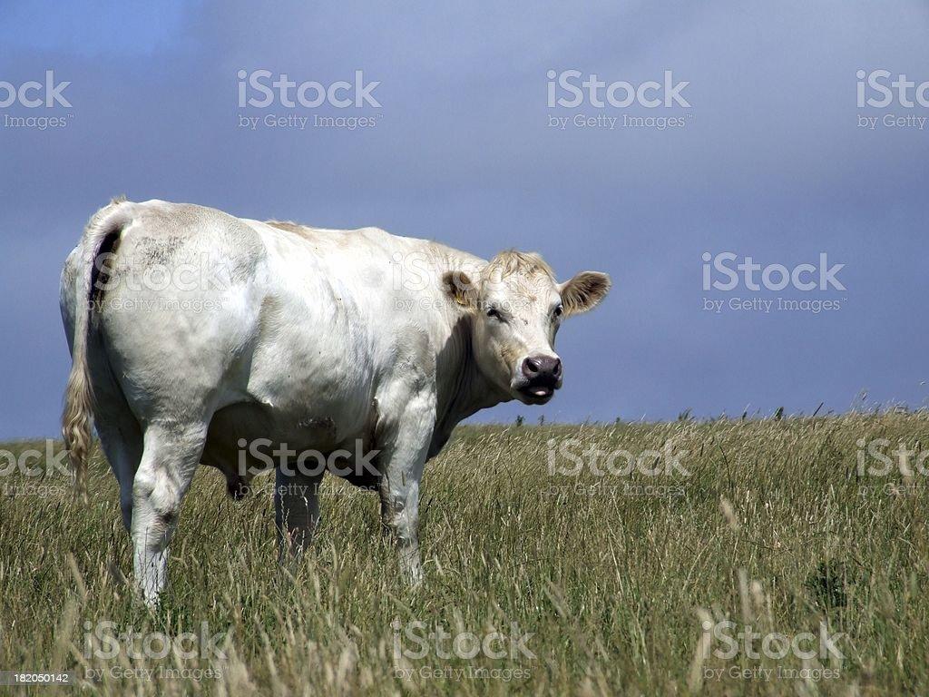 Beef on the hoof royalty-free stock photo